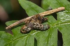 IMG_3022 Lophoruza lunifera (Moore, 1885)明蝠裳蛾 (vlee1009) Tags: 2019 60d canon january taipei taiwan yangmingshannationalpark moths caterpillars