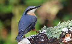 Nuthatch 101218 (1) (Richard Collier - Wildlife and Travel Photography) Tags: birds british britishbirds wildlife naturalhistory nature nuthatch coth5