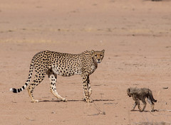 Cheetah mum with very little cub (jaffles) Tags: southafrica südafrika kalahari kgalagaditransfrontierpark ktp olympus safari wildlife natur nature beautiful selfdrive