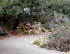 Deer (EcoSnake) Tags: deer wildlife winter january boiseidaho idahofishandgame naturecenter