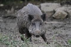 Sanglier (Passion Animaux & Photos) Tags: sanglier wild boar parc animalier saintecroix