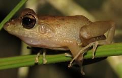 Craugastor crassidigitatus (Birdernaturalist) Tags: amphibian anura costarica frog herp richhoyer