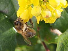 A honey bee working on an Oregon-grape flower. (Bienenwabe) Tags: oregongrape flower mahonia mahoniaaquifolium berberidaceae mahonie honigbiene apis apismellifera apiaceae biene insect insekt