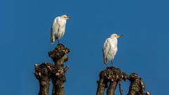 Cattle Egrets (Distinctly Average) Tags: phillluckhurst distinctlyaverage wwwdistinctlyaveragecouk wildlife herts hertfordshire bird egret cattleegret canon 7dmark2 100400ii handheld