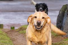 Jake (RCB4J) Tags: ayrshire ayrshirecoast babygrace clydecoast firthofclyde irvinebeach jakob rcb4j ronniebarron scotland siameselurcher sony18250mmf3563dtaf sonyslta77v trailhound art bordercollie dobermanterrier dogs labradors photography retrievers shoragundogs spaniels