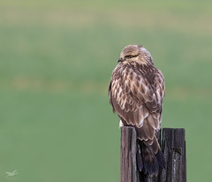 Rough-legged Hawk I (dennis_plank_nature_photography) Tags: avianphotography roughleggedhawk birdphotography naturephotography skagit wa avian birds nature