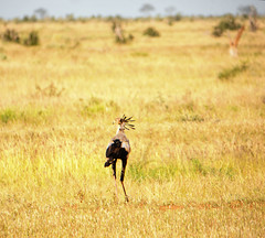 The secretarybird (igor29768) Tags: secretarybird bird prey africa kenya tsavo panasonic lumix gx7 100300mm