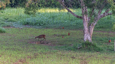 DSC_5396 (Adrian Royle) Tags: malaysia tamannegara travel holiday nature wildlife mammal deer forest outdoors nikon barkingdeer muntjac