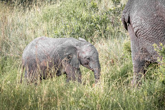 Following Mom (helenehoffman) Tags: africa elephant conservationstatusvulnerable mammal loxodontaafricana kenya africanbushelephant maasaimaranationalreserve animal