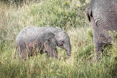 Following Mom (helenehoffman) Tags: africa elephant conservationstatusvulnerable mammal loxodontaafricana kenya africanbushelephant maasaimaranationalreserve animal