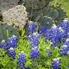 Cactus & Bluebonnets (Caren Mack Photography) Tags: texashillcountry texas hillcountry bluebonnets wildflowers 2019 carenmack