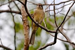 Golden Whistler (F) (Rodger1943) Tags: whistlers goldenwhistler australianbirds sonyrx10m4