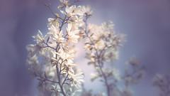 Magnolia blossom (Dhina A) Tags: sony a7rii ilce7rm2 a7r2 a7r malik triolam 100mm f29 france anastigmat 29 maliktriolamfranceanastigmat100mmf29 slide projection projector lens french manualfocus