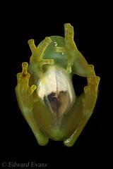 Spiny glass frog (Teratohyla spinosa) (edward.evans) Tags: spinyglassfrog teratohylaspinosa glassfrog frog centrolenidae teratohyla spinosa costaricanamphibianresearchcentre crarc siquirres costarica wildlife nature macro amphibian rana herp herping green