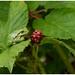 Treefrog - Boomkikker of Europese boomkikker (Hyla arborea)
