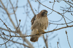 "Red-tailed Hawk (A Great Capture) Tags: redtailed hawk agreatcapture agc wwwagreatcapturecom adjm ash2276 ashleylduffus ald mobilejay jamesmitchell toronto on ontario canada canadian photographer northamerica torontoexplore winter l'hiver 2019 eos digital dslr lens canon 70d natur nature naturaleza natura naturephotography naturethroughthelens sigma ""150500mmf563apodgoshsm"" bird vogel oiseau πουλί madár uccello ptak pássaro птица vták fågel 새 鸟 birding outdoor outdoors outside woods trees tree arbre forest wald árvore"