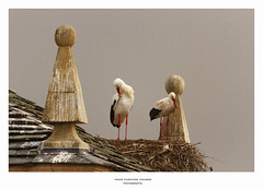 En San Cipriano las cigüeñas... (Paco Fuentes Vicario) Tags: cigüeña pájaro ave aves natur stork pareja wildlife bird nature natural naturaleza tejado nido nest