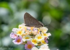 DSC_3512 (stoupaduck) Tags: athens attica butterfly insect mallowskipper nationalandkapodistrianuniversity skipper