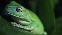 Green Tree Frog Breathing (do_japan) Tags: green tree frog animal sunshine coast australia amphibian eye skin queensland whites dumpy litoria caerulea