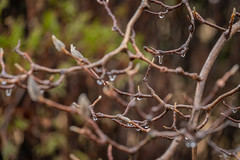 Icy Rain-Coated Magnolia Branches (John Brighenti) Tags: rain tree soaked ice drops branches wood sticks magnolia bokeh green brown winter weather bush plant outdoors outside nature february rockville maryland md twinbrook sony alpha a7rii ilce7rm2 sonyshooter sel70300g nex ilce emount femount mirrorless zoom 300mm lens photography