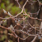 Icy Rain-Coated Magnolia Branches thumbnail