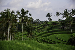 rice fields (Greg M Rohan) Tags: baliricefields landscape trees tree palmtrees ricefields indonesia bali asia green d750 2018 nikon nikkor