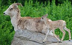 Getting on eye level with mama (AvesAg) Tags: tierpark tierparkberlin berlin zoo canon eos 6d sheep lamb ewe lamm ovisammonpolii argali marcopolosheep pamirargali marcopolowildschaf