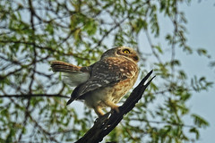 I have little tail to tell about... (Lopamudra !) Tags: lopamudra lopamudrabarman lopa owlet owl bird keoladeo nationalpark sanctuary spottedowlet bharatpur rajasthan rajastan india nature wilderness wild pretty cute beautiful