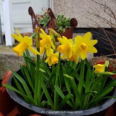 Spring Flowers 1 (Shug1) Tags: flower petitedaffodils inmygarden