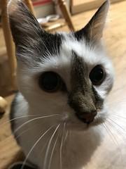 52/365/8 (f l a m i n g o) Tags: project365 365days february 14th 2019 thursday cat angel pet animal 36118