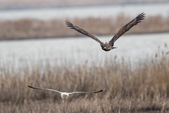 7K8A1053 (rpealit) Tags: scenery wildlife nature edwin b forsythe national refuge brigantine immature bald eagle bird