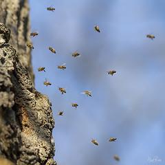 HONEY BEE 1 (Nigel Bewley) Tags: honeybee apismellifera hymenoptera insect flyinginsect hive perivalewood localnaturereserve perivale ealing london uk nature naturalhistory greatoutdoors wildlifephotography ukwildlifenature unlimitedphotos february february2019 nigelbewley winter photologo amateurphotographer appicoftheweek