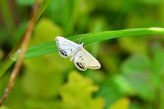 Small China-mark ... Cataclysta lemnata (AndyorDij) Tags: andrewdejardin england empingham rutland uk unitedkingdom insect lepidoptera moth smallchinamark empinghammoths