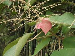 Mallotus barbatus Müll.Arg. Euphorbiaceae ตองเต้า (SierraSunrise) Tags: plants shrubs euphorbiaceae thailand wiangkaen chiangrai leaves foliage mallotus