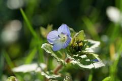 Si fragile... (passionpapillon) Tags: fleur flower color bleu blu bokeh passionpapillon 2019