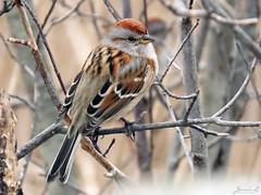 American Tree Sparrow RP IMG_4024 (Jennz World) Tags: ©jennifermlivick americantreesparrow sparrow riversidepark cambridge ontario canada bird