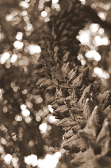 2019-036. (negligible) Tags: capetown southafrica kirstenbosch knobwood sepia plant texture bokeh