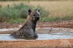 Hyena Bath (fascinationwildlife) Tags: animal mammal wild wildlife nature natur national park addo elephant eastern cape morning water hole spotted hye hyäne hyena predator bath south africa afrika summer südafrika tüpfelhyäne african