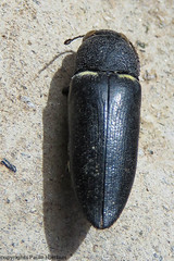 2959 Hippomelas sp Buprestid (paule48) Tags: ajo animal arizona hippomelas pipelineroad usa beelte buprestidae black yellow insect