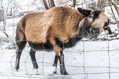 Winter Goat - January 2019 VIII (boettcher.photography) Tags: winter januar january schnee snow germany deutschland badenwürttemberg neckargemünd dilsberg ziege goat animal tier sashahasha boettcherphotography boettcherphotos 2019