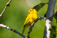 Saffron Finch (Daren Grilley) Tags: tanager sicalisflaveola xf100400 xt3 fujifilm fuji hawaii birds bird coffee farm kona