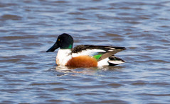 7K8A1761 (rpealit) Tags: scenery wildlife nature edwin b forsythe national refuge brigantine northern shoveler duck bird