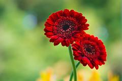 gerbera 2839 (junjiaoyama) Tags: japan flower plant gerbera red winter macro bokeh