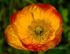 Color (K&S-Fotografie) Tags: flower zoo blume red yellow makro green sommer summer beauty beautiful