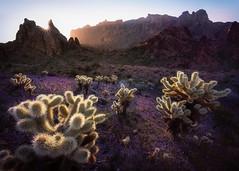 Kofa-9018-HDR-2-Edit (Michael-Wilson) Tags: arizona saguaro cholla cactus desert southwest sunrise michaelwilson light wildflowers flowers blooms mountain mountains wilderness wildliferefuge cacti tranquil sunstar