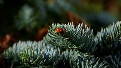 I hope they survive (moniquerebanks) Tags: ladybirds ladybugs earlyspring lieveheersbeestje closeup macro dof nikond7100 spring lente printemps voorjaar bugs nature natuur winter countryside cumbria uk lakedistrict mariquita coccinella cocinelle marienkafer fruhling primavera