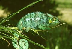 CAMÉLÉON VERT BLEU (Jean d'Hugues) Tags: réunion endormi caméléon bleu vert
