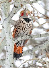 Norther Flicker (Brandon Downing) Tags: outdoors woodpecker animals light birds wildlife nature nikon