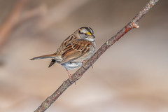 White-throated sparrow (Joe Branco) Tags: canada ontario photoshop p lightroom macro bird birds wildlife nature joebrancophotographer nikond850 grass wildlifephotographer nikon whitethroatedsparrow green