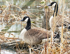 Canada Geese at the Beaver Swamp (Eat With Your Eyez) Tags: canada goose geese animal feathers beak eye nature outdoors cuyahoga valley national park cvnp nationalpark ohio wildlife march warm plants bokeh panasonic fz 1000 swamp marsh